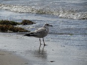 Yearling Seagull