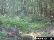 Two yoing bucks out for a morning stroll