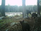 3 legged sow bear with cubs