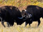 One bison is struggling in wrestling