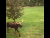 Moose on Bow Lake