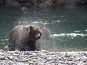 Grizzly Sisters Shaking off Water