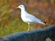 Sea gull on lake audu dam