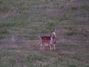 Fawn and doe in the evening