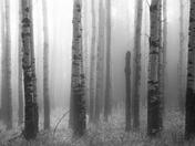 Aspen Fog