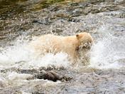 Bear Against Salmon