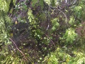 East Orlando tree down