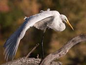 Yogic Egret