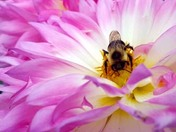"""Busy as a Bee"" on fall Dahlia"