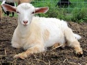 Fainting goat doeling - Too cute!!