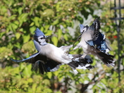 Kickboxing Blue Jays