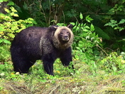 One Large Male Grizzly