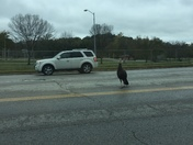 Why did the turkey cross the road?