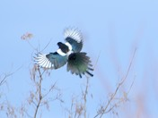 Magpie is landing