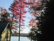 Backlit Maples