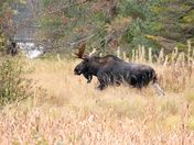 Fall moose # 2 : Algonquin Park