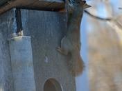 a thief squirrel