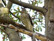 Cooper's hawk: juvenile