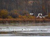 October Swans