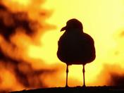 Hot Gulls