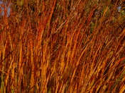 Heavy Metal Switchgrass Santa Fe Botanical Garden NM