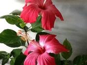 The last hibiscus of the season :(