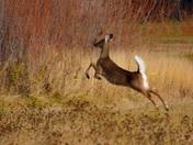 Frightened Deer