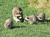 Family of Racoons suning themselves in backyard