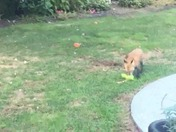 Playful fox on Cape Cod