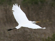 Egret in Struve Slough