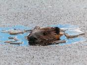Melting Beaver