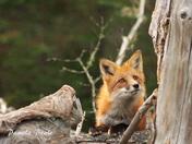 Fox XVI