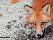 Fox - Close Up