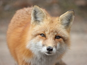 Curious Red Fox
