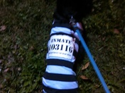 My dog ready for trick or treat.