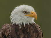 Bald Eagle Adult