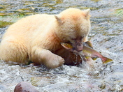 Kermode Bear With A Pink