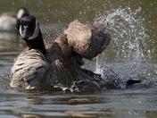 Splashing goose