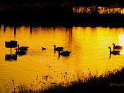 Geese on the pond.
