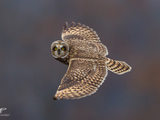 Estuary Short-Eared Owl