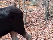 Bull Moose Andover NH