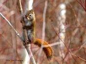 Pole Dancing Squirrel