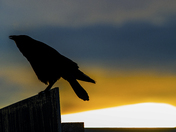 Crow Guard