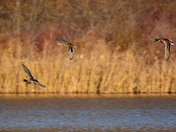 Wild Ducks in fly