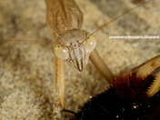 Mantid with a meal