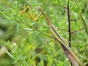 Chinese Mantid....the longer view