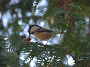 Chickadee in the cedars