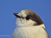 Gray Jay. Proposed Canada's National Bird!