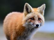 Fox Eyes