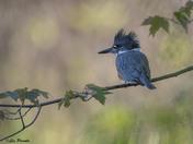 Kingfisher Bokeh